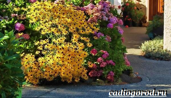 Рудбекия-цветок-Выращивание-рудбекии-Уход-за-рудбекией-22
