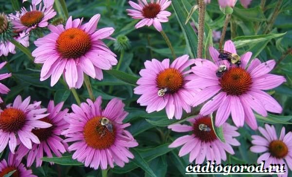 Рудбекия-цветок-Выращивание-рудбекии-Уход-за-рудбекией-3
