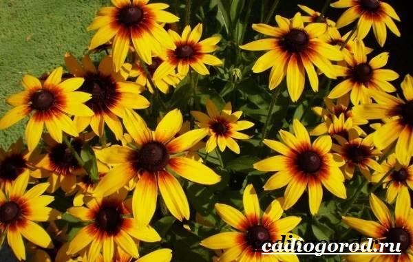 Рудбекия-цветок-Выращивание-рудбекии-Уход-за-рудбекией-5