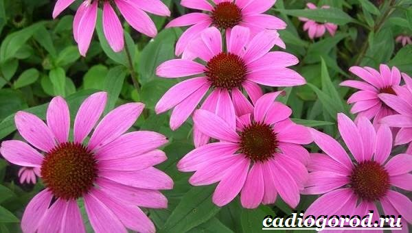 Рудбекия-цветок-Выращивание-рудбекии-Уход-за-рудбекией-7