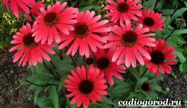 Рудбекия-цветок-Выращивание-рудбекии-Уход-за-рудбекией-8