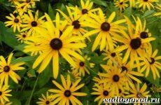 Рудбекия цветок. Выращивание и уход