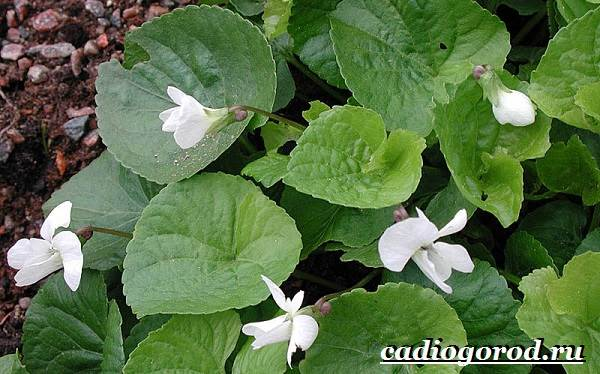 Виола-цветок-Выращивание-виолы-Уход-за-виолой-10