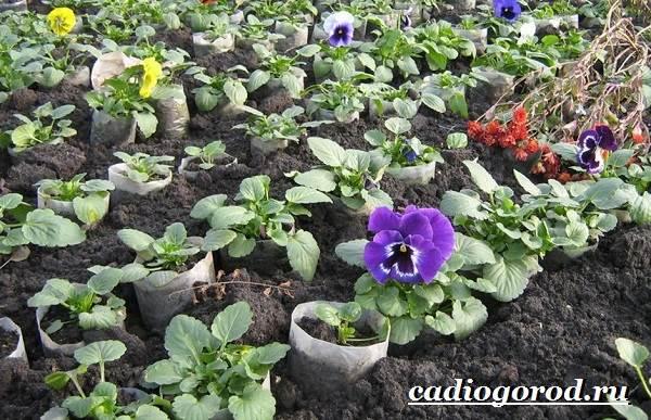 Виола-цветок-Выращивание-виолы-Уход-за-виолой-11