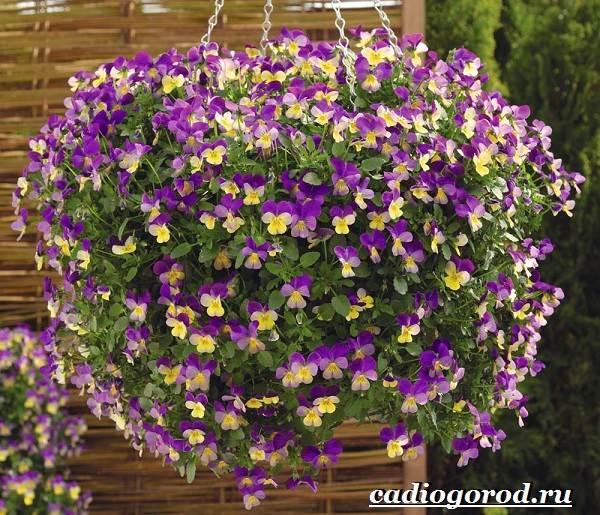 Виола-цветок-Выращивание-виолы-Уход-за-виолой-13