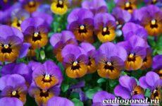 Виола цветок. Выращивание виолы. Уход за виолой