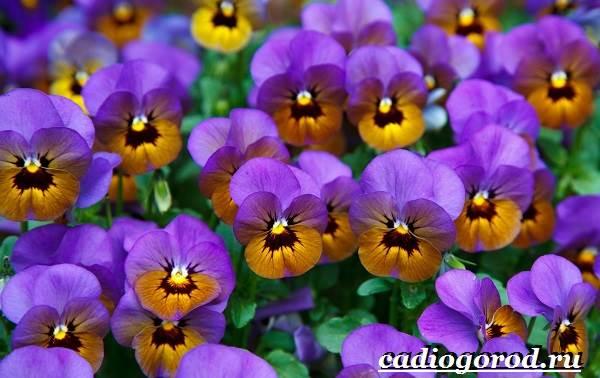 Виола-цветок-Выращивание-виолы-Уход-за-виолой-3