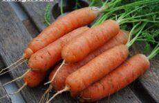 Выращивание моркови. Как и когда сажать морковь? Уход за морковью