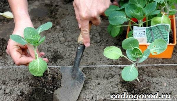 Выращивание-рассады-капусты-в-домашних-условиях-18
