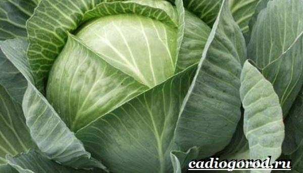 Выращивание-рассады-капусты-в-домашних-условиях-5