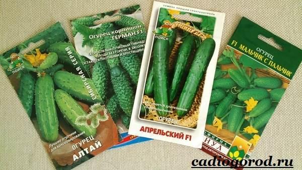 Выращивание-рассады-огурцов-в-домашних-условиях-14