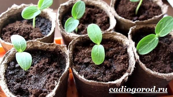Выращивание-рассады-огурцов-в-домашних-условиях-3