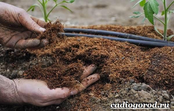 Выращивание-рассады-томатов-в-домашних-условиях-18