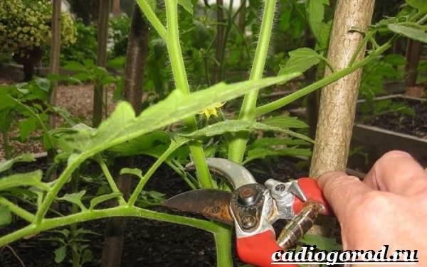 Выращивание-рассады-томатов-в-домашних-условиях-24