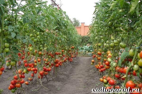 Выращивание-рассады-томатов-в-домашних-условиях-30