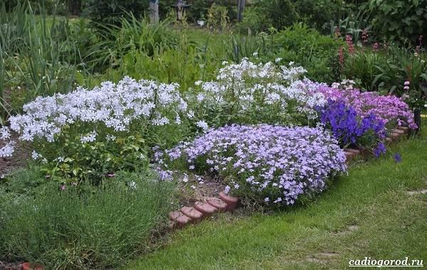 Ночная-фиалка-цветок-Выращивание-ночной-фиалки-Уход-за-ночной-фиалкой-10