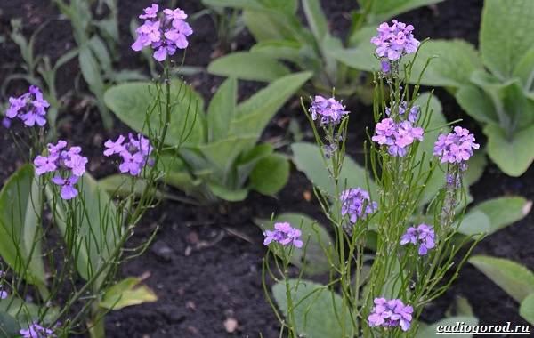 Ночная-фиалка-цветок-Выращивание-ночной-фиалки-Уход-за-ночной-фиалкой-9