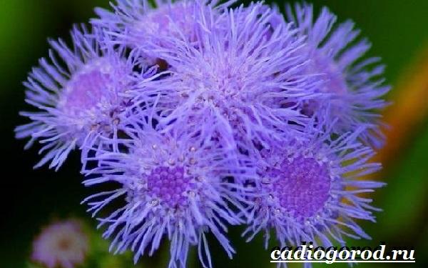 Агератум-цветок-Описание-особенности-виды-и-уход-за-агератумом-12