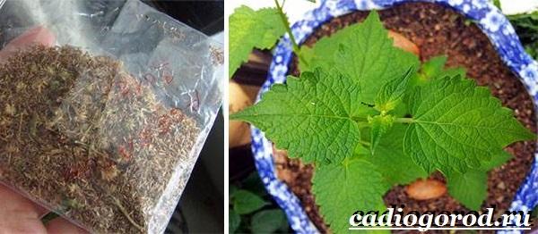 Агератум-цветок-Описание-особенности-виды-и-уход-за-агератумом-15
