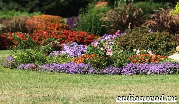 Агератум-цветок-Описание-особенности-виды-и-уход-за-агератумом-17