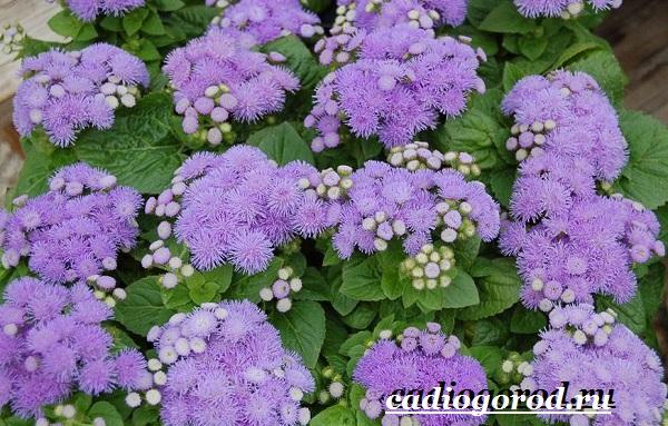 Агератум-цветок-Описание-особенности-виды-и-уход-за-агератумом-2