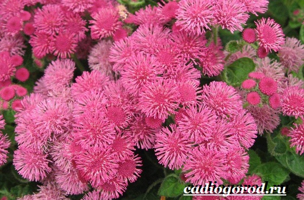 Агератум-цветок-Описание-особенности-виды-и-уход-за-агератумом-3