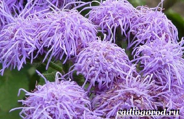 Агератум-цветок-Описание-особенности-виды-и-уход-за-агератумом-7