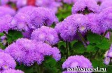 Агератум цветок. Описание, особенности, виды и уход за агератумом