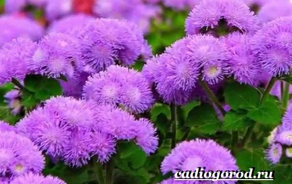 Агератум-цветок-Описание-особенности-виды-и-уход-за-агератумом-9