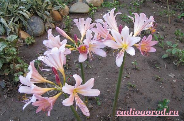 Амариллис-цветок-Описание-особенности-виды-и-уход-за-амариллисом-5
