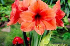 Амариллис цветок. Описание, особенности, виды и уход за амариллисом