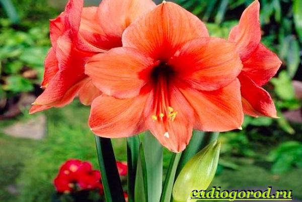Амариллис-цветок-Описание-особенности-виды-и-уход-за-амариллисом-8