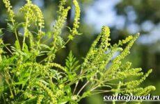Амброзия растение. Описание, особенности, вред и борьба с амброзией