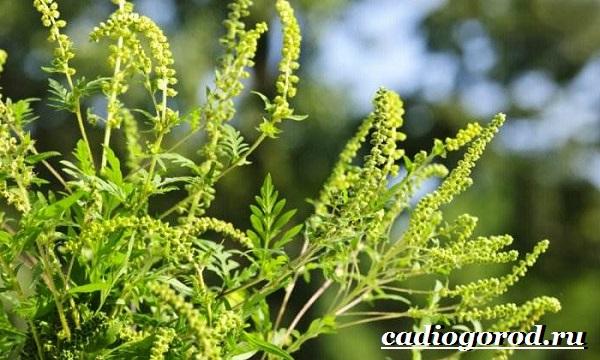Амброзия-растение-Описание-особенности-вред-и-борьба-с-амброзией-1
