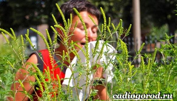 Амброзия-растение-Описание-особенности-вред-и-борьба-с-амброзией-4