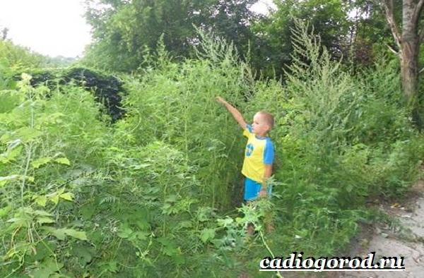 Амброзия-растение-Описание-особенности-вред-и-борьба-с-амброзией-5