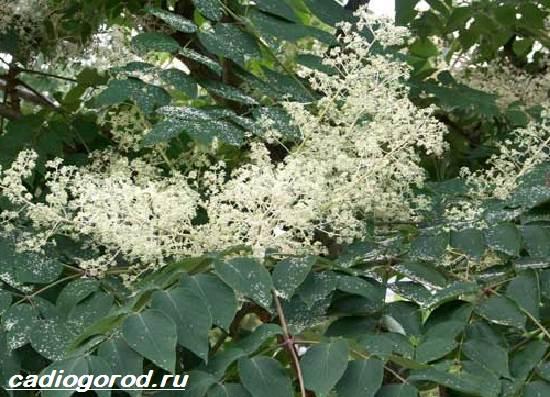 Аралия-растение-Описание-свойства-виды-и-уход-за-аралией-6