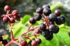 Аралия растение. Описание, свойства, виды и уход за аралией
