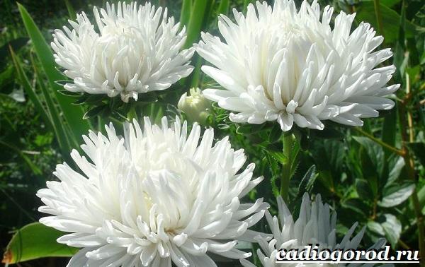 Астра цветок. Описание, особенности, виды и уход за астрой-1