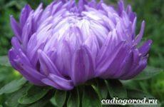 Астра цветок. Описание, особенности, виды и уход за астрой