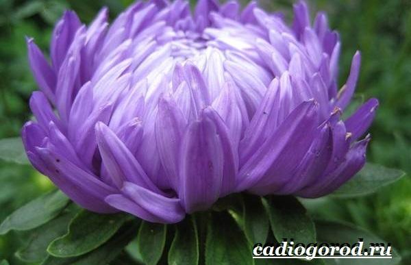 Астра цветок. Описание, особенности, виды и уход за астрой-10