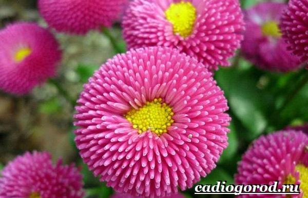 Астра цветок. Описание, особенности, виды и уход за астрой-16