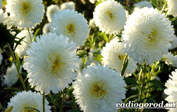 Астра цветок. Описание, особенности, виды и уход за астрой-2