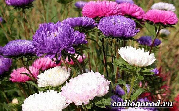 Астра цветок. Описание, особенности, виды и уход за астрой-3