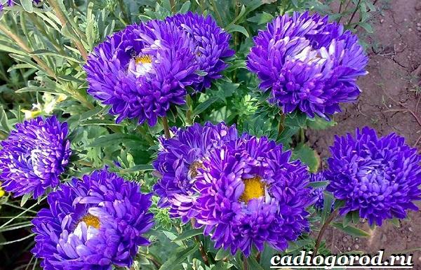 Астра цветок. Описание, особенности, виды и уход за астрой-4