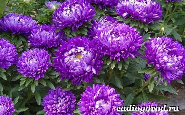 Астра цветок. Описание, особенности, виды и уход за астрой-5
