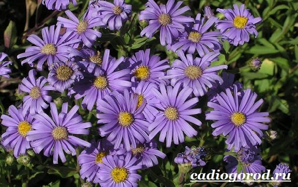 Астра цветок. Описание, особенности, виды и уход за астрой-6