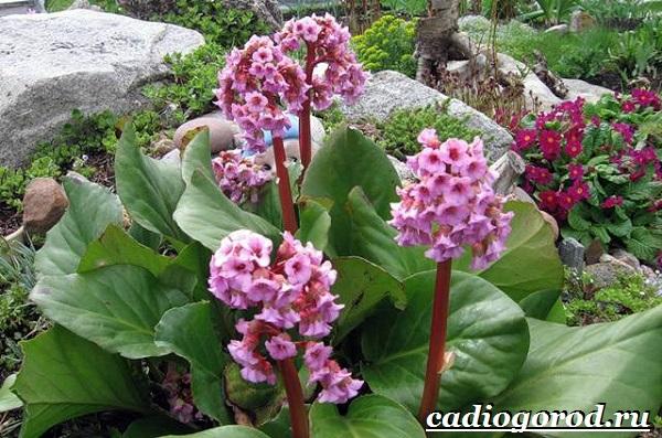 Бадан-растение-Описание-особенности-виды-и-уход-за-баданом-1