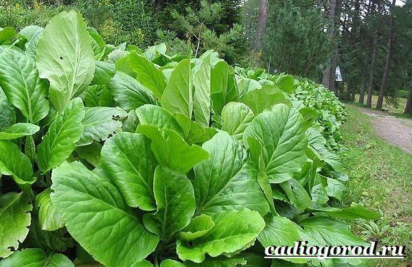 Бадан-растение-Описание-особенности-виды-и-уход-за-баданом-10