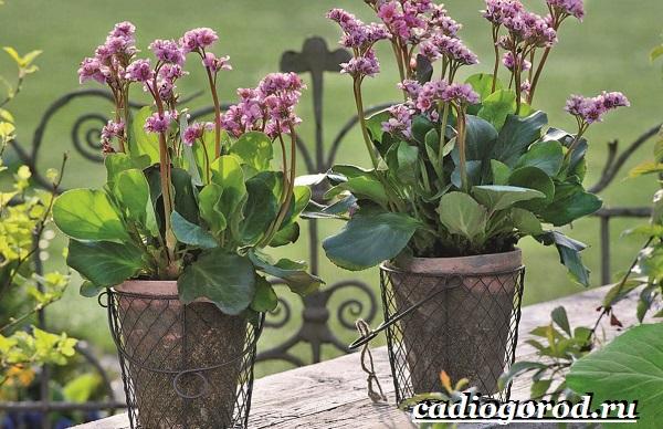 Бадан-растение-Описание-особенности-виды-и-уход-за-баданом-16